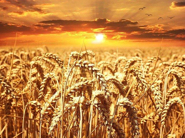 گندم کی ذخیرہ کاری کسانوں کے لیے کچھ چند مشورے